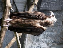 Cinereous Vulture Royalty Free Stock Images