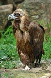 The Cinereous Vulture Stock Photos