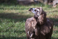 Cinereous Vulture. (Aegypius monachus) staying on the grass Stock Photography