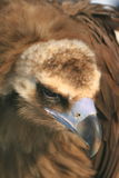 Cinereous vulture Stock Photos