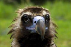 Cinereous Vulture (Aegypius monachus) Royalty Free Stock Photography