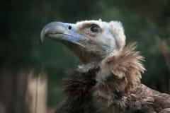 Cinereous Vulture (Aegypius Monachus). Stock Image