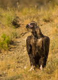 Cinereous vulture on the ground Stock Photo