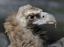 Cinereous vulture 2 Royalty Free Stock Photo