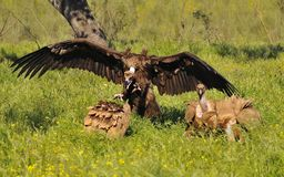 Cinereous vulture attacking a griffon vulture. Royalty Free Stock Photography