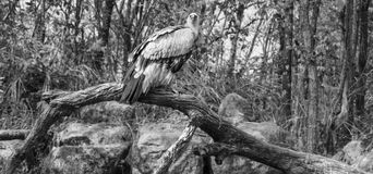 Cinereous Vulture bird Stock Images