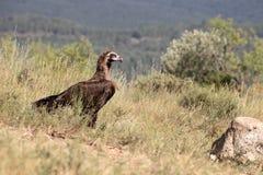 Cinereous Vulture or Black vulture, Aegypius monachus Stock Images