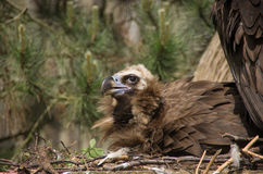 A Cinereous vulture breeding close-up Royalty Free Stock Photos