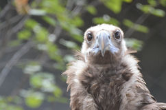 Cinereous vulture 8 Stock Photos