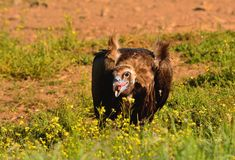 Cinereous vulture eating. Royalty Free Stock Photo