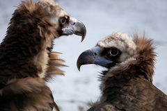 Cinereous Vulture - European Black Vulture (Aegypius Monachus) Stock Photos