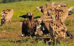 Cinereous vulture with griffon vultures Stock Images