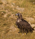 Cinereous Vulture on the ground Royalty Free Stock Photo