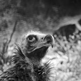 Cinereous Vulture Stock Photo