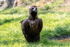 Cinereous vulture sitting on the green grass stock photos
