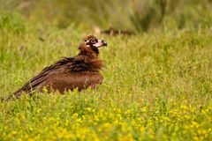 Cinereous vulture walking in grass Royalty Free Stock Photos