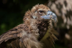 Cinereous vulture & x28;Aegypius monachus& x29; Stock Images