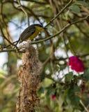 Cinereum de Todirostrum, oiseau jaune et noir sur le nid avec le buisson et roses brouillées à l'arrière-plan Image stock
