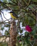Cinereum de Todirostrum, oiseau jaune et noir sur le nid avec le buisson et roses brouillées à l'arrière-plan Image libre de droits