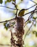 Cinereum de Todirostrum, oiseau jaune et noir sur le nid avec le buisson et roses brouillées à l'arrière-plan Images libres de droits