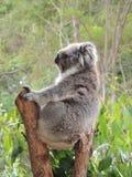 Cinereus de Phascolarctos de koala Photo stock