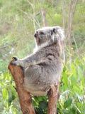 Cinereus de Phascolarctos de koala Images stock