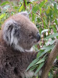 Cinereus de Phascolarctos de koala Image stock