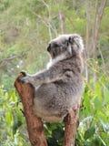 Cinereus do Phascolarctos da coala imagens de stock royalty free