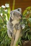 Cinereus Phascolarctos коалы Стоковое Изображение