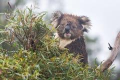 Cinereus Phascolarctos медведя коалы сидя и есть дерево евкалипта выходит Стоковые Фотографии RF