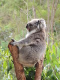 Cinereus Phascolarctos Koala Στοκ εικόνες με δικαίωμα ελεύθερης χρήσης