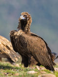 Cinerous Vulture Stock Image