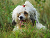 Cinese del cane crested Immagine Stock
