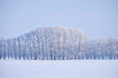 Cinghia della foresta degli alberi di pioppo sotto la brina nel campo di neve nella vittoria Immagini Stock