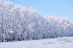 Cinghia della foresta degli alberi di pioppo sotto la brina nel campo di neve nella vittoria Fotografia Stock