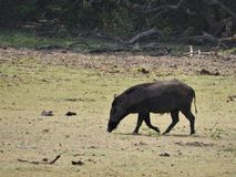 Cinghiale che cammina nella foresta nella mattina nebbiosa Fauna selvatica nel suo habitat naturale fotografia stock