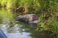 Cinghiale di morte sulla banca del fiume, verro morto di ASF fotografie stock
