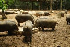 Cinghiale nell'azienda agricola di maiale Fotografia Stock