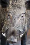 Cinghiale. Typical stuffed wild boar in Chianti's countryside, Tuscany, Italy Royalty Free Stock Photo