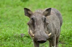 Cinghiale Royalty Free Stock Image