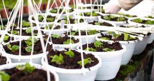 Cinghie di taglio del botanico maschio sui vasi stock footage