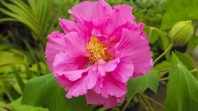Cinglez la fleur de lion en parc dans le jardin photos stock
