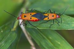 Cingulatus Dysdercus стоковые фотографии rf
