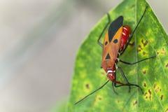 Cingulatus Dysdercus стоковые фото