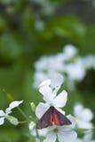 Cinnabar σκώρος στο άσπρο λουλούδι Στοκ φωτογραφία με δικαίωμα ελεύθερης χρήσης