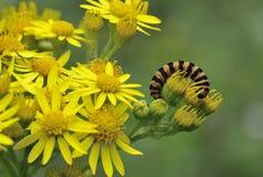 Cinnabar σκώρος Caterpillar Στοκ φωτογραφίες με δικαίωμα ελεύθερης χρήσης