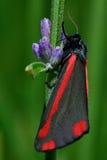 Cinnabar σκώρος (jacobaeae Tyria) σε στάση lavender στο μίσχο Στοκ Φωτογραφία
