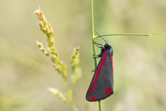 Cinnabar σκώρος (jacobaeae Tyria) Στοκ εικόνες με δικαίωμα ελεύθερης χρήσης