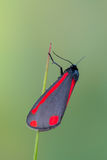 Cinnabar σκώρος - jacobaeae Tyria Στοκ Φωτογραφίες