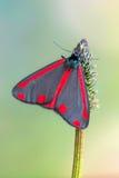 Cinnabar σκώρος - jacobaeae Tyria Στοκ Εικόνες